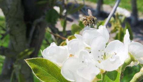 Bijen in de fruitteelt