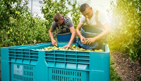 Hoe verloopt de appel- en perenoogst?