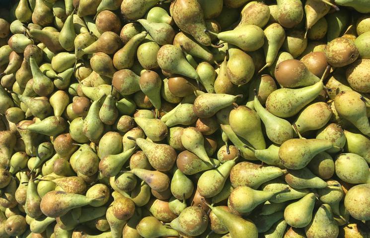 Fruitteler geeft uit protest 50.000 kilo peren gratis weg